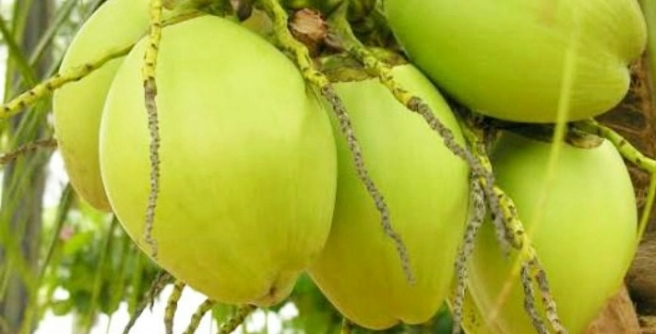 Manfaat Buah Kelapa Untuk Kesehatan